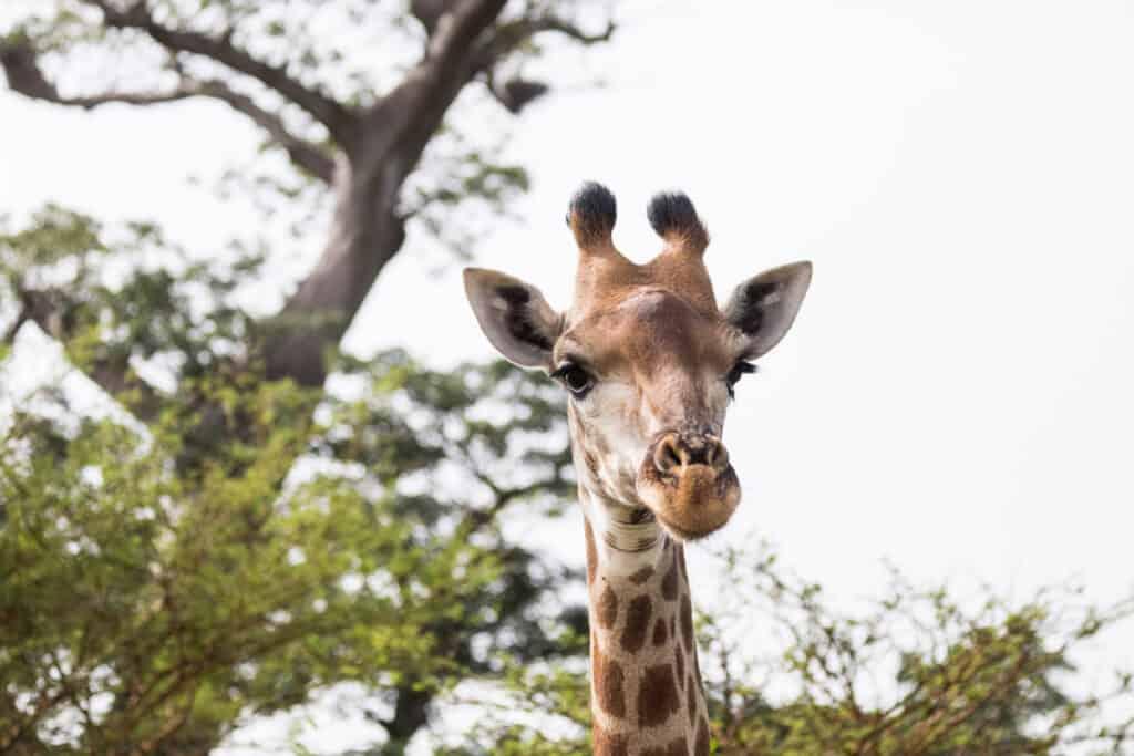 In love met de giraffe