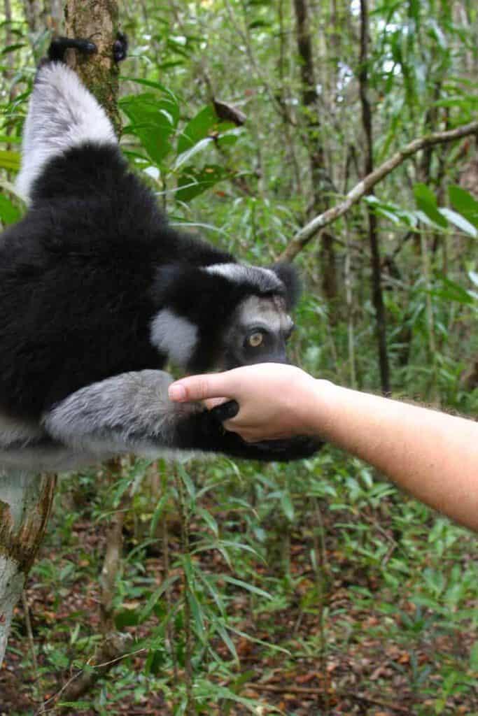 Indri in pangalanes