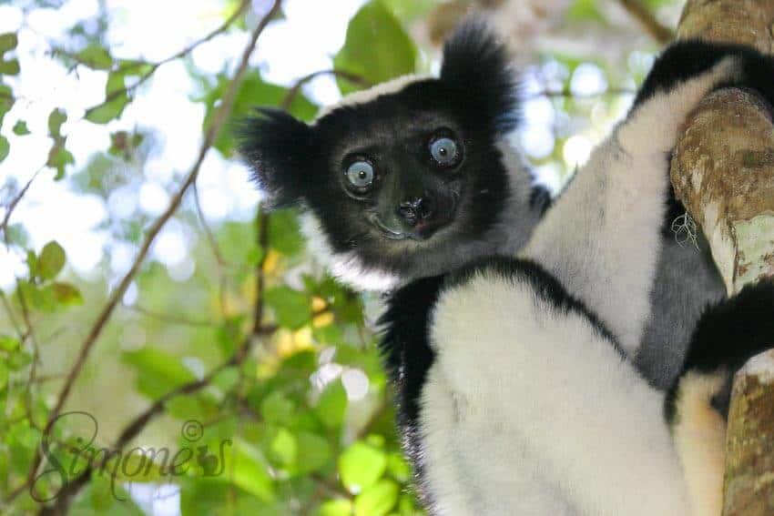 Madagaskar indri indri