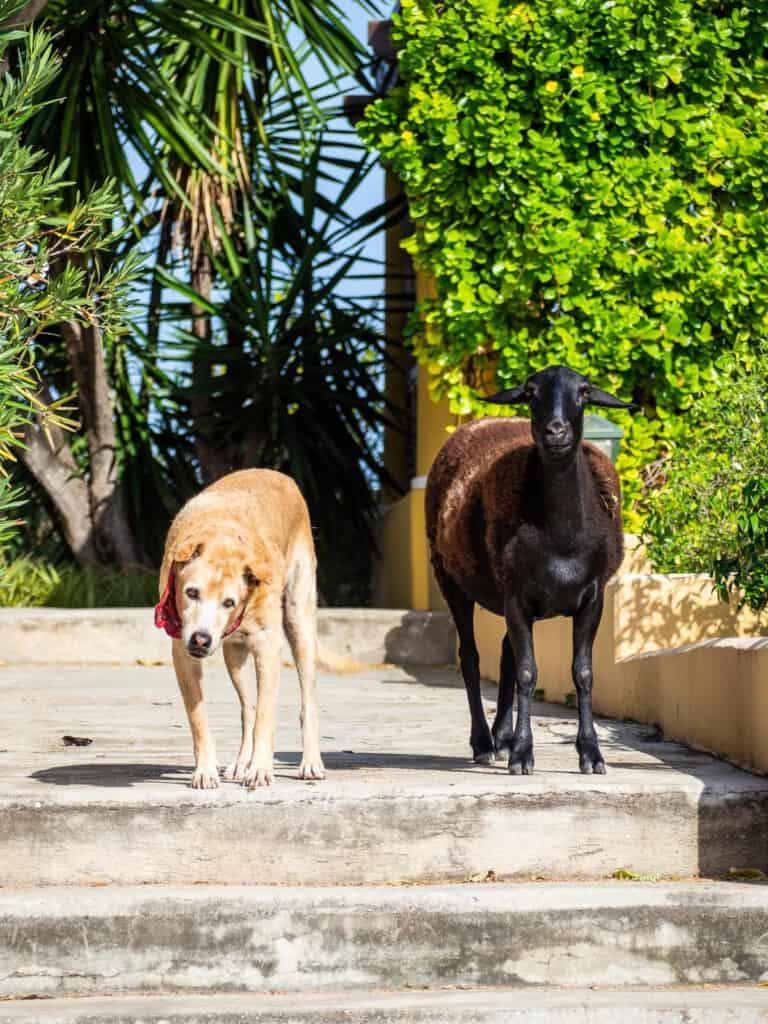 Schaap en de hond