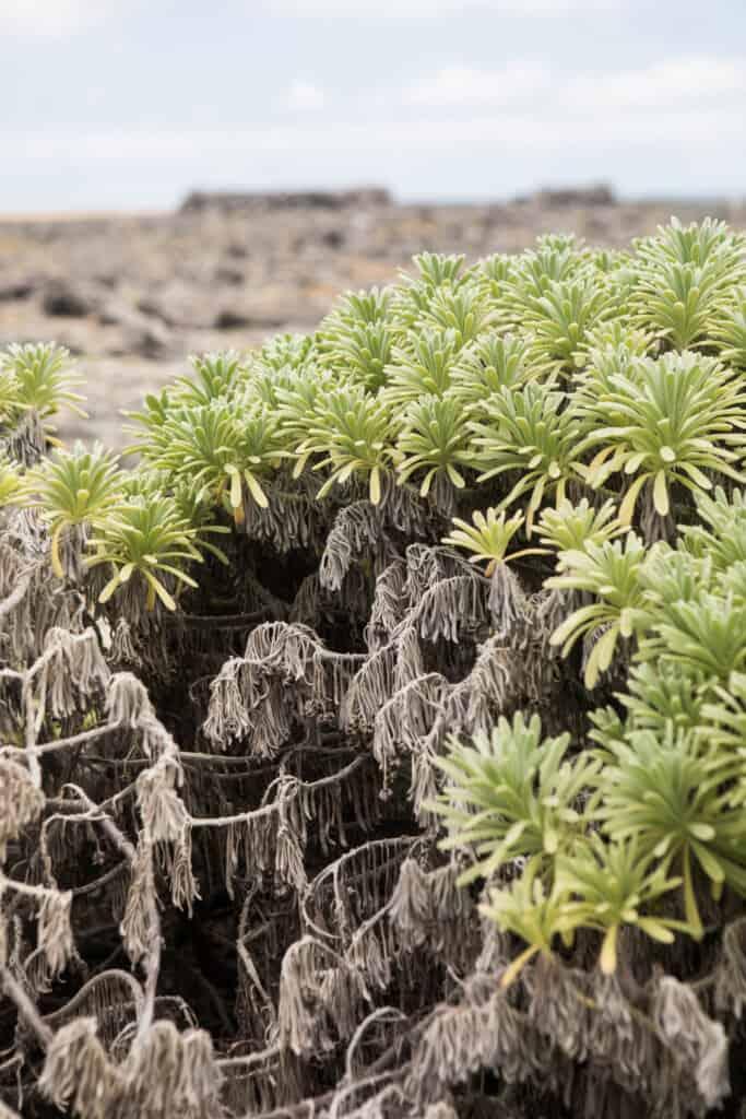 Plantjes klein curacao